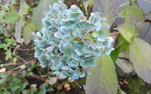 dried blue hydrangea