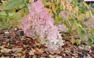 dried pink hydrangea