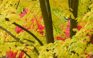 yellow and red maples