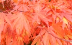 red vine maple