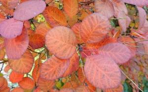 red smokebush