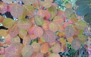 purple smokebush