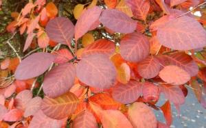 orange smokebush