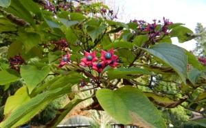 Clerodendrum berries