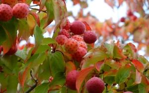 dogwood fruits